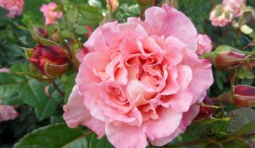 roza-czerwcowa