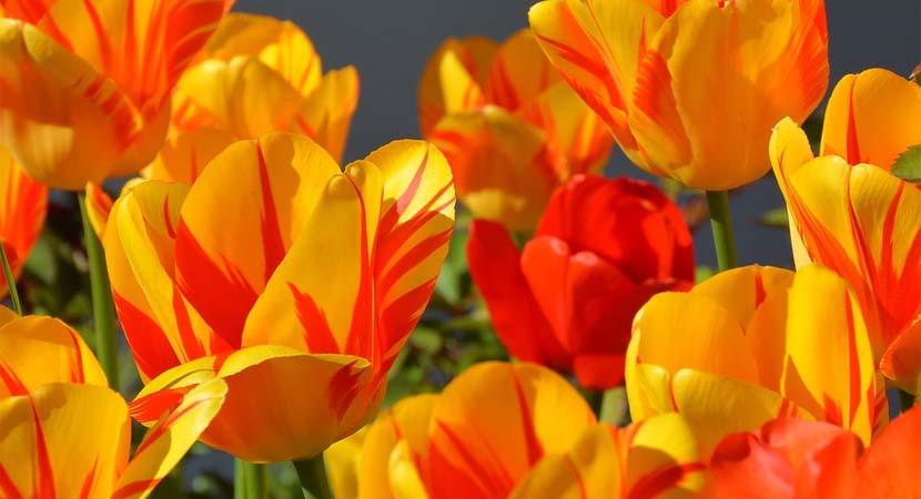 Pielęgnacja tulipanów i ich charakterystyka